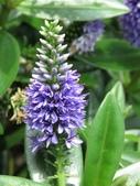 認識植物2.0 (59) 長:長階花xx02.jpg