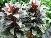 認識植物2.0 (66) 威娃屋屏峇:娃娃朱焦 k7292.JPG
