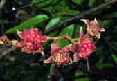 認識植物2.0 (70) 柊柏柚柳:柳氏懸鉤子zz01.JPG