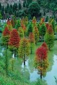 認識植物(70) 腰萬萱萼落葉葎葛葡葫葶蒂:落羽松xx05.jpg
