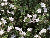 植物隨手拍 L:丁香木 L8217.JPG