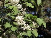 認識植物2.0 (21) 白:白丁香ee9929.JPG