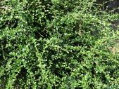 植物隨手拍 AM:小葉厚殼樹am1496.JPG