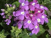 植物隨手拍 BP:美女櫻bp3522.JPG