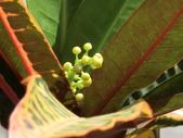 植物隨手拍EI:長葉變葉木ei0365.JPG