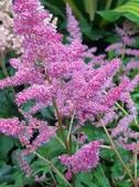 認識植物(70) 腰萬萱萼落葉葎葛葡葫葶蒂:落新婦xx02.jpg