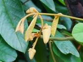 認識植物2.0 (20) 瓜瓦甘田由:瓜馥木xx01.jpg