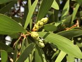 認識植物2.0 (21) 白:白千層an1311.JPG