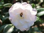 認識植物2.0 (69) 昭枯枳枸柃:昭和之光bp8786.JPG