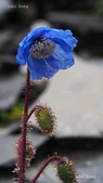 認識植物2.0 (59) 長:長葉綠絨蒿xx01.jpg