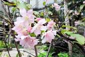認識植物2.0 (69) 昭枯枳枸柃:昭和櫻xx02.jpg
