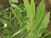 認識植物2.0 (63) 南:南薑ej2821.JPG
