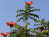 植物隨手拍 Q:火焰木 q1212.JPG