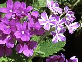植物隨手拍 BP:美女櫻bp0142.JPG