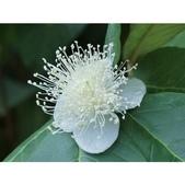 認識植物(60) 猢猩猴琴番畫短硬筆筑:相簿封面