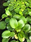 認識植物(67) 圓塊奧幹愛愷:圓心萍xx02.jpg