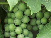 認識植物(70) 腰萬萱萼落葉葎葛葡葫葶蒂:葡萄cf1928.JPG