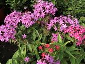 植物隨手拍 X:繁星花 x5981.JPG