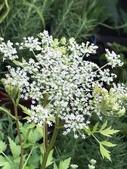 認識植物(69) 當痲矮碎碗稗稜節粳群義聖:當歸xx02.jpg