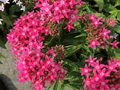 植物隨手拍 X:繁星花 x5982.JPG