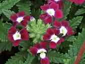 植物隨手拍 BP:美女櫻bp1438.JPG