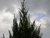 植物隨手拍 CJ:檀香柏cj7823.JPG
