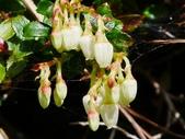 認識植物(50) 高鬼偃假:高山白珠樹xx03.jpg
