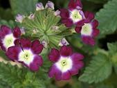 植物隨手拍 BP:美女櫻bp1445.JPG