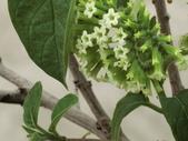 植物隨手拍EB:冷飯藤eb8144.JPG