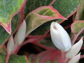 植物隨手拍EI:彩葉粗肋草ei4832.JPG