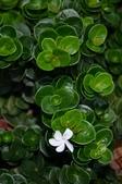 認識植物(67) 圓塊奧幹愛愷:圓葉卡利撒xx01.jpg