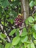 認識植物2.0 (32) 血西:血藤xx02.jpg