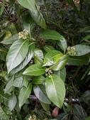 認識植物2.0 (22) 皮矢石禾立:皮孫木xx01.jpg