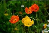 認識植物2.0 (24) 冰列印合吉:冰島罌粟xx02.jpg