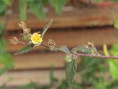 植物隨手拍 L:金午時花 L8195.JPG
