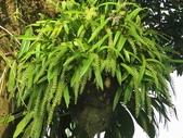 認識植物2.0 (59) 長:長耳蘭xx01.jpg