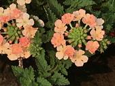 植物隨手拍 BP:美女櫻bp8958.JPG