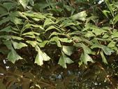植物隨手拍 CJ:叢立孔雀椰子cl6758.JPG