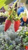 認識植物2.0 (59) 長:長形草莓xx02.jpg