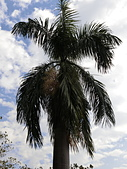 植物隨手拍 P:大王椰子 p2826.JPG