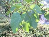 認識植物(69) 當痲矮碎碗稗稜節粳群義聖:痲瘋樹xx01.jpg