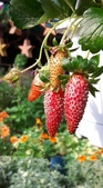 認識植物2.0 (59) 長:長形草莓xx03.jpg