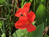 認識植物(69) 當痲矮碎碗稗稜節粳群義聖:矮性美人蕉bu0850.JPG