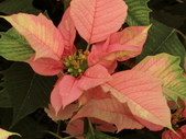 認識植物2.0 (24) 冰列印合吉:冰火聖誕紅bj1488.JPG