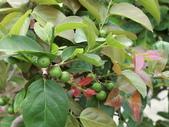 植物隨手拍 CJ:羅比梅cj4762.JPG