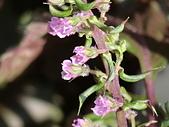 植物隨手拍CW:紅紫蘇cw8270.JPG