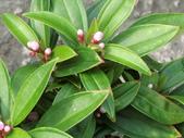 植物隨手拍EI:珍珠牡丹ei0738.JPG