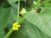 認識植物(67) 圓塊奧幹愛愷:圓果黃麻dh8691.JPG