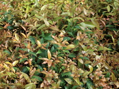 認識植物2.0 (59) 長:長虹木dv9148.JPG