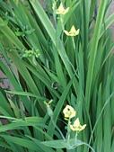 植物隨手拍 AG:黃扇鳶尾ag8045.JPG